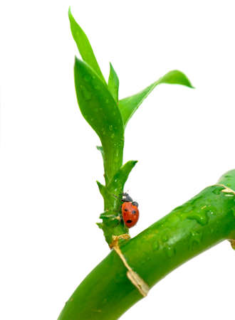 green plant and ladybird on white close-up photo