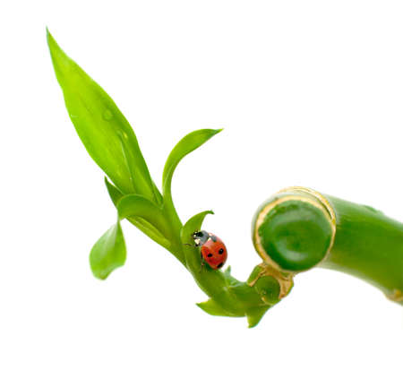 ladybug sitting on a green plant on white background Stock Photo - 12044377