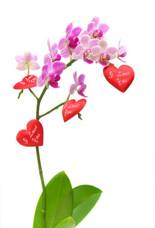 Valentines for orchids blooming branch on a white background Stock Photo