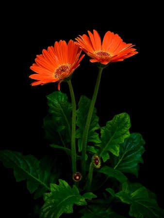 Orange gerbera on black background close up Stock Photo