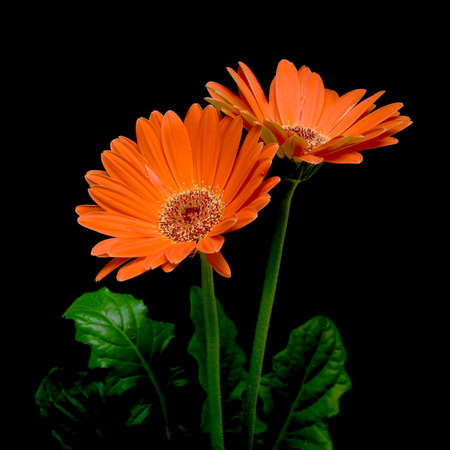 blooming gerbera close-up on a black background photo