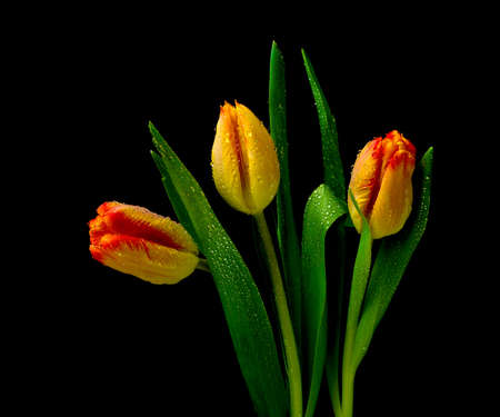 bouquet of yellow tulips in drops of dew on a black background Stock Photo
