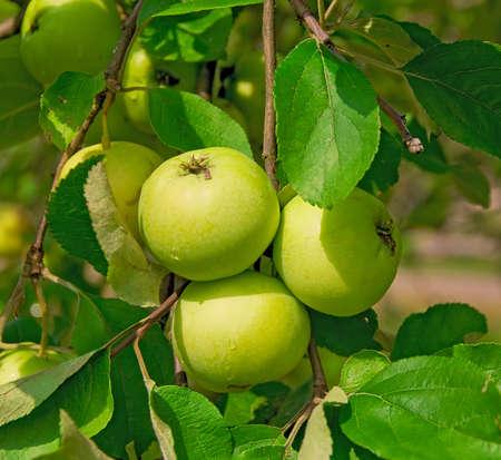 arbol de manzanas: maduras manzanas verdes en una rama de cerca