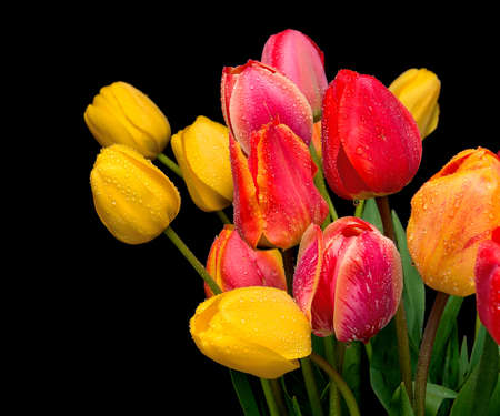 beautiful bouquet of tulips of different colors in the drops of water on a black background close up Stock Photo - 13445332