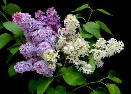 syringa: beautiful bouquet of lilacs in different colors on a black background close up