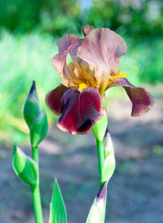 beautiful blooming iris branch beige closeup photo