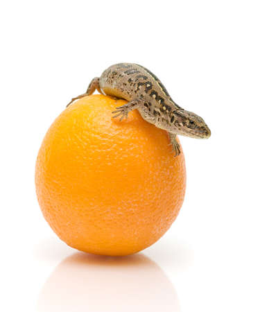 Lizard sits on an orange on a white background photo