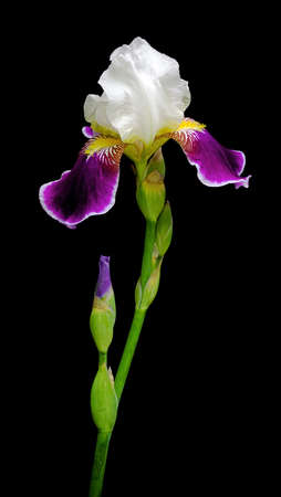 very beautiful blooming iris is isolated on a black background