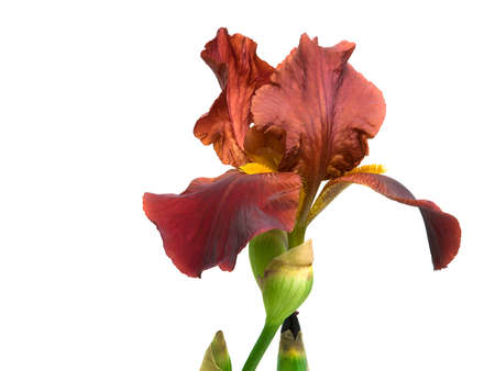 beautiful flower iris isolated on white close-up photo