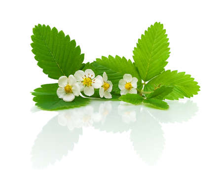 strawberry leaves and flowers isolated on a white background with reflection closeup photo