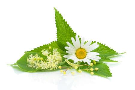 Feuilles d'ortie, camomille et de fleurs de chaux sur un fond blanc close-up de la réflexion Banque d'images - 14104531
