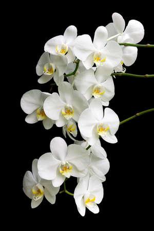 les plus: branche la plus florissante d'orchid�es Phalaenopsis blanc isol� sur fond noir de pr�s