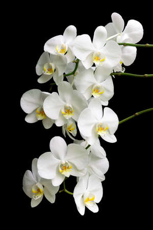 most flourishing branch of white Phalaenopsis orchids isolated on black background close up photo
