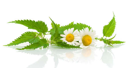 nettles and daisies on a white background with reflection closeup