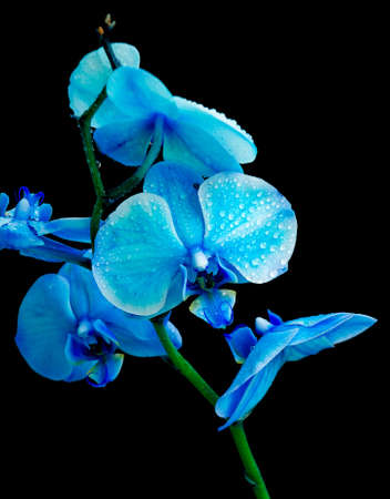 Blue Orchid in drops of dew on a black background closeup