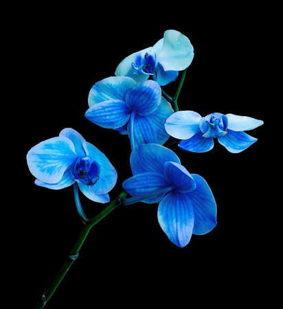 Beautiful blossoming branch blue orchid isolated on a black background Stock Photo