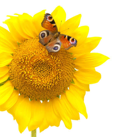 beautiful butterfly sitting on a flowering sunflower on a white background close-up photo