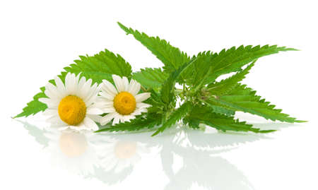 chamomile flowers and nettle leaves close up on white background with reflection