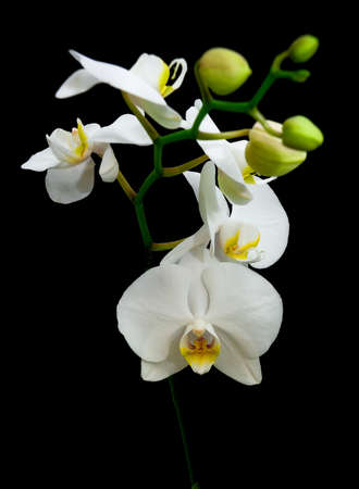 blossoming branch of white phalaenopsis orchid isolated on a black background