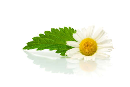 Chamomile flower and nettle leaf on white background with a reflection Stock Photo - 18786436