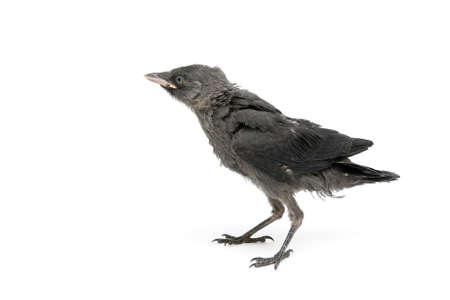 jackdaw: bird. jackdaws nestling close-up Stock Photo