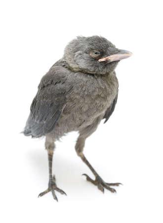 nestling: Bird (jackdaws nestling)