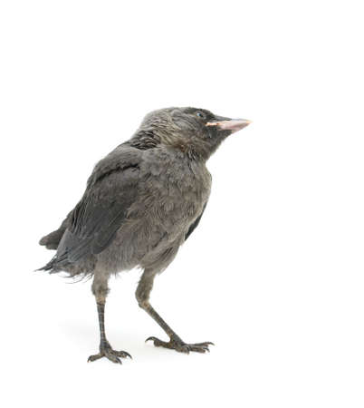 jackdaw: bird