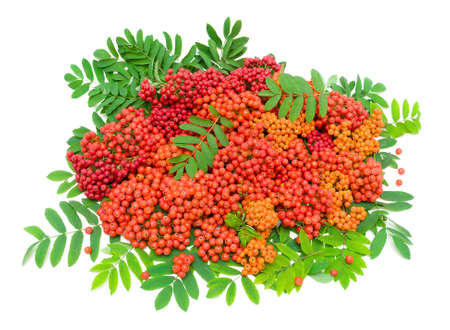 ripe bunches of rowan berries and green leaves isolated on white background  top view - horizontal photo  Stock Photo