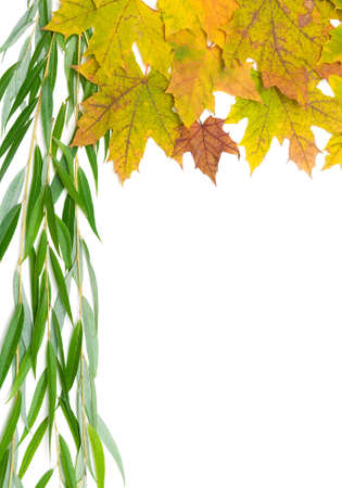 withering: autumn maple leaves and willow branch on a white background close-up. vertical photo.