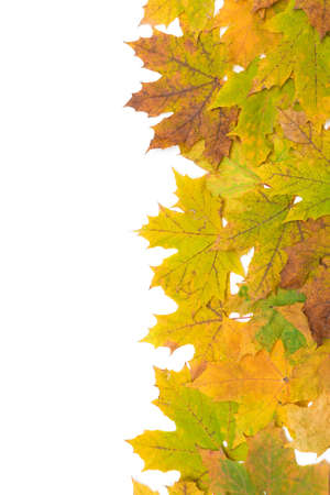 autumn maple leaves on a white background close-up. vertical photo. photo