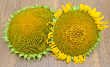 two big autumn sunflower on a wooden table.  photo