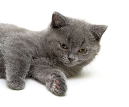little kitten Scottish Straight breed on a white background close-up. horizontal photo.