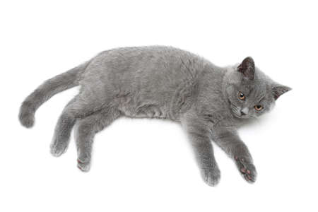 cat breed Scottish Straight isolated on a white background. top view - horizontal photo. photo