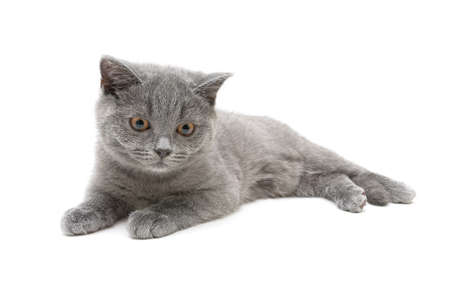 cat breed Scottish Straight isolated on a white background closeup. horizontal photo. photo