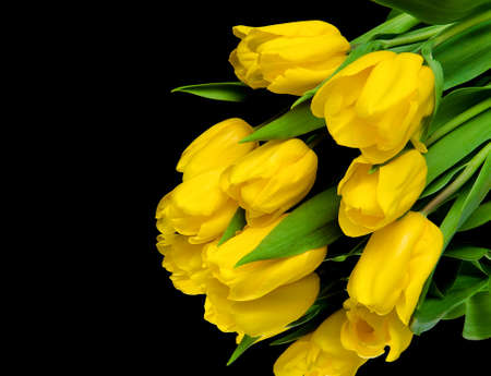 yellow tulips on a black background close-up with a mirror image. horizontal photo.