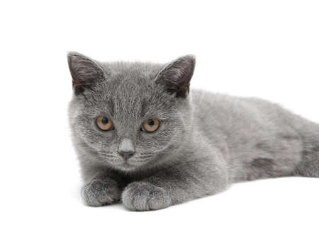 kitten (Scottish Straight breed, age - 3.5 months) on a white background. horizontal photo.