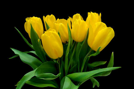 beautiful bouquet of yellow tulips isolated on black background close-up  horizontal photo  photo