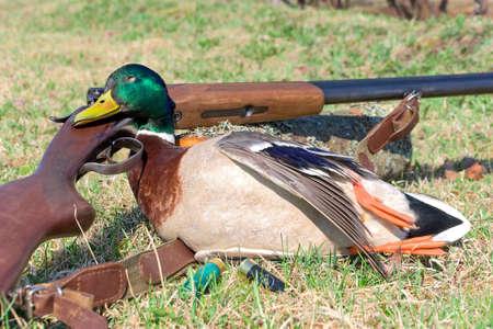 hunting trophy. wild duck close up - horizontal photo. photo