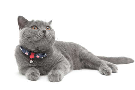 gray cat breed Scottish Straight close-up on white background. horizontal photo. photo