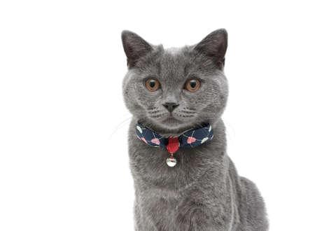 scottish straight: kitten (breed Scottish Straight) closeup on a white background. horizontal photo.