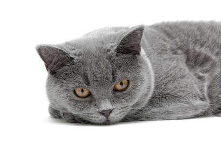 cat (Scottish Straight breed, age 6,5 months) close-up on white background. horizontal photo. photo