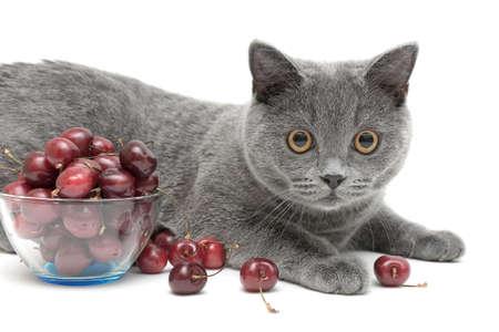 scottish straight: cat (breed Scottish Straight)