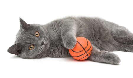 beautiful cat breed Scottish Straight closeup with ball on white background. horizontal photo. Stock Photo
