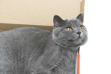 scottish straight: cat breed Scottish Straight closeup lying in a cardboard box. white background - horizontal photo.