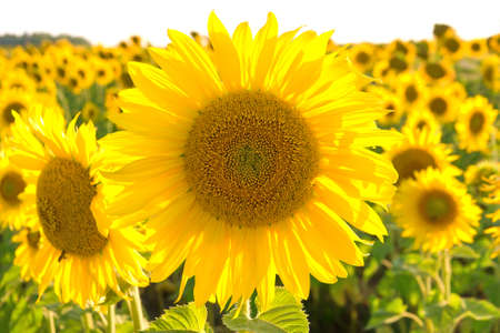 energize: large flowering sunflower on a field close up. horizontal photo. Stock Photo