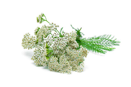 yarrow plant closeup on a white background. Imagens