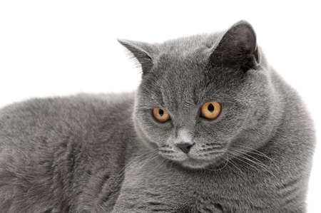 scottish straight: Portrait of a gray cat on a white background. horizontal photo.