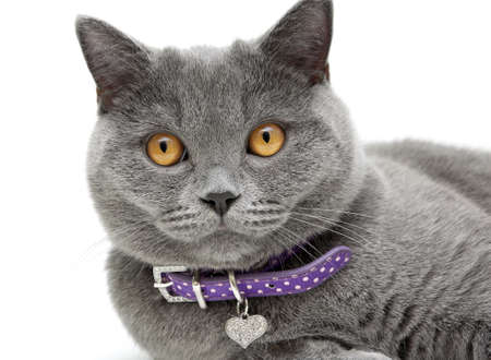 scottish straight: Portrait of a gray cat with yellow eyes in purple collar on a white background. horizontal photo.