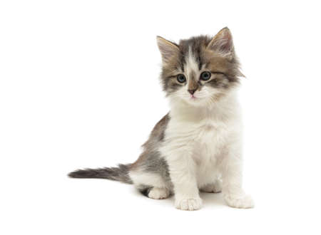 little fluffy kitten sits on a white background close-up. horizontal photo. photo