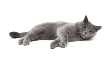 scottish straight: beautiful gray cat breeds Scottish Straight (age 11.0 months) lying on a white background. horizontal photo.